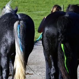 pferde_hinten